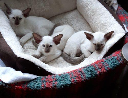 Kittenbemiddeling: Cattery Vradsjpoetana