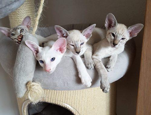 Kittenbemiddeling: Cattery Laboo