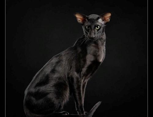 CH Cat Global Truffle